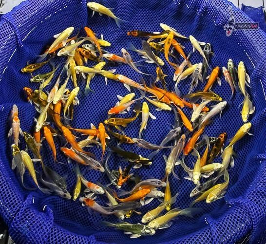 Lot of (50) 2 to 2.5 GRAB BAG BABY IMPORTED BUTTERFLY KOI live fish fin NDK