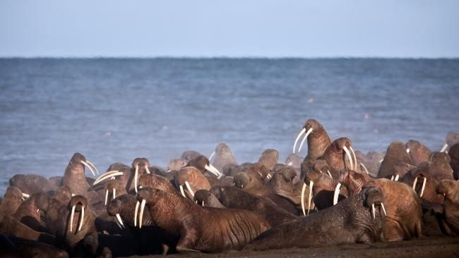 Point Lay's famous walruses are a major drawcard for tourists. Picture: Ryan Kingsbery/United States Geological Survey via AP