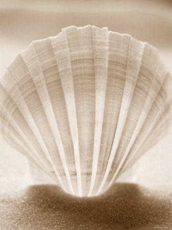 seashell photography - Google Search