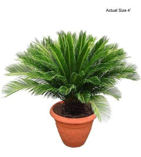 Mini Sago Palm | Small 4 FT Sago Palm Tree - Cycas revoluta
