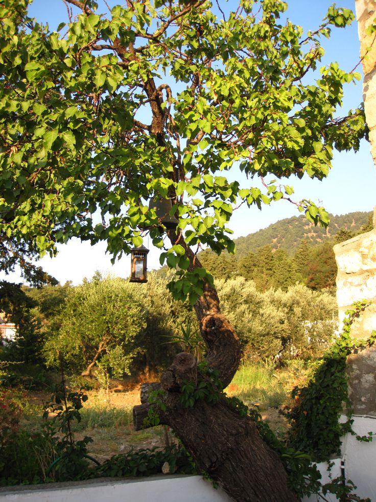 Tree - Kos - Greece