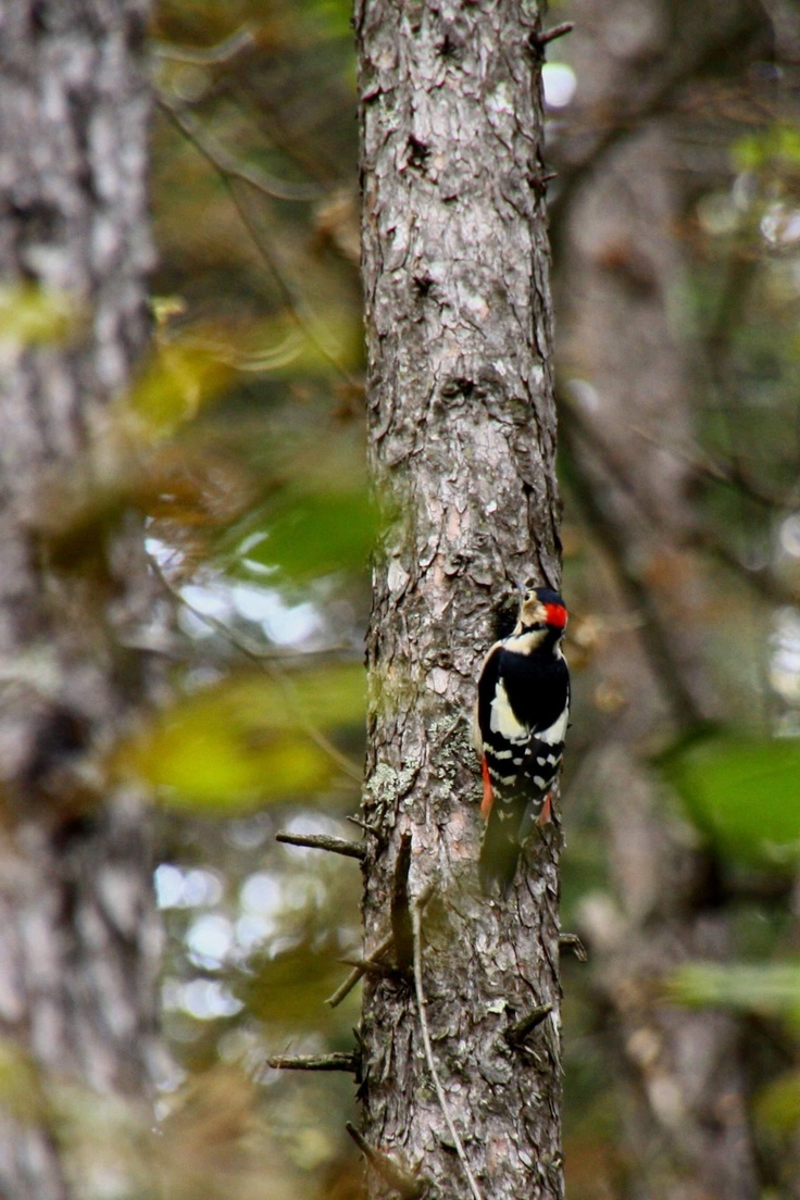 a great spotted woodpecker in nagano, japan
