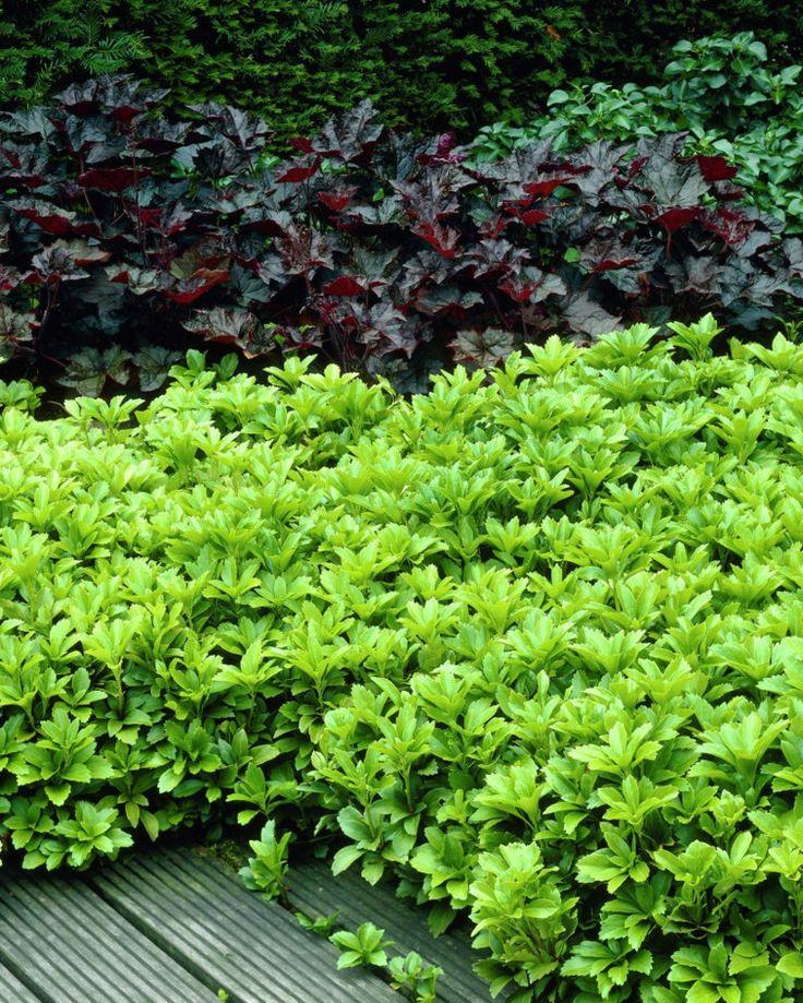 43 besten immergr n bilder auf pinterest sichtschutz gartenpflanzen und garten pflanzen. Black Bedroom Furniture Sets. Home Design Ideas