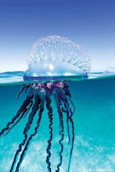 Portuguese Man O'War. These are always all over the beach where my grandparents live.They kill more people yearly than sharks do