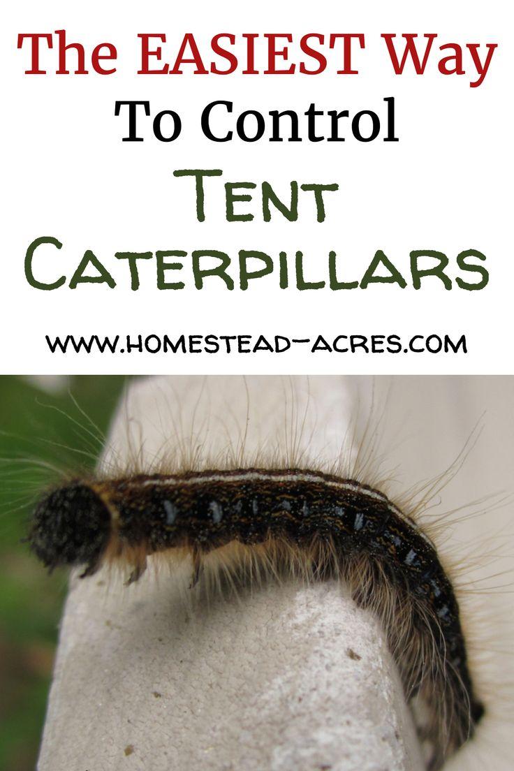 How to get rid of tent caterpillars tent caterpillars