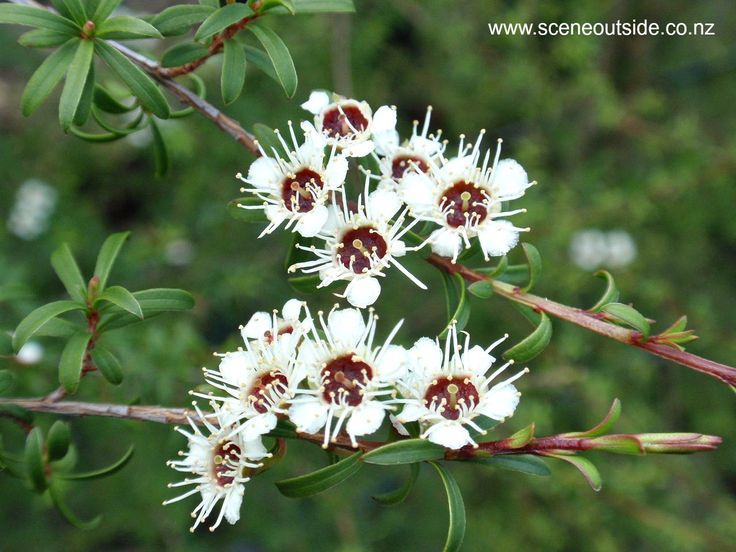 Kunzea ericoides (kanuka), described and illustrated in the plant guide of my website http://www.sceneoutside.co.nz