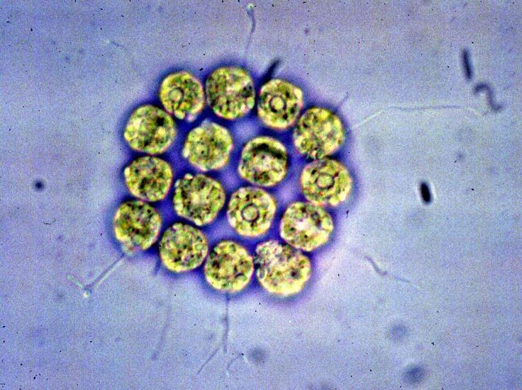 Studiando il genoma di tre specie diverse di alghe, un team di ricerca internazionale ha fatto luce sui meccanismi genetici alla base dell'origine della multicellularità