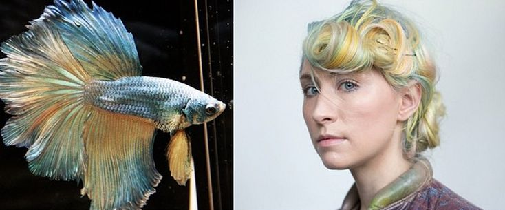 Betta Fish Coloring: The Latest Hair Trend   The Odyssey