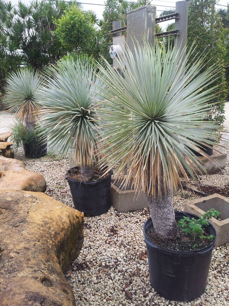 Botanics Rare Palms Whole Nursery Homestead Florida Beaked Yucca