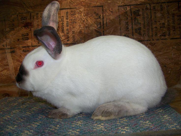 California Rabbit:  Purpose: Meat  Size: Male 7 lbs, Female 10 lbs  Litter: 8-12 kits  Gestation 28-35 days