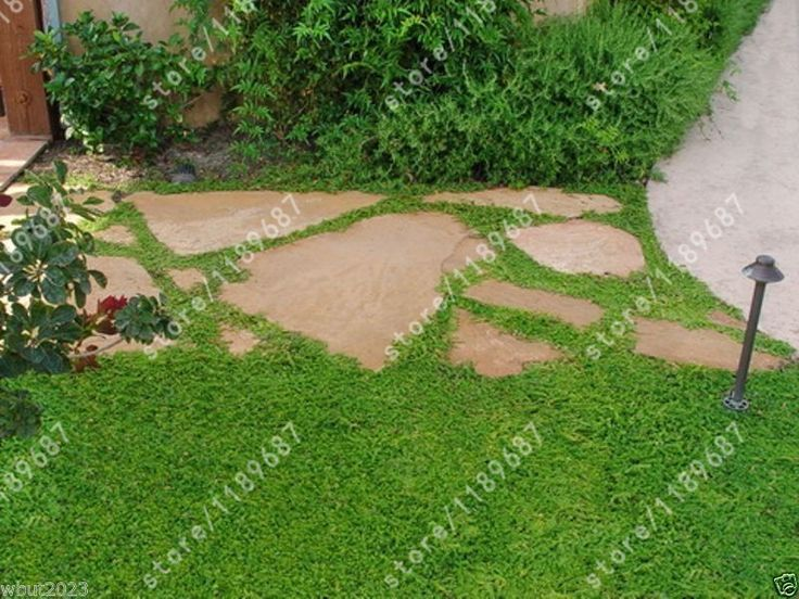 200 Pcs Herniaria Glabra Seeds Green Carpet Ground Cover Grow In Poor