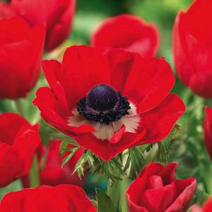 Anemone Bulbs Coronaria Hollandia 20 Per Pack