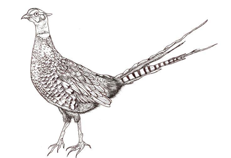 Pheasant (own sketch) ...