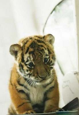 Siberian Tiger Cub @ Berlin Zoo
