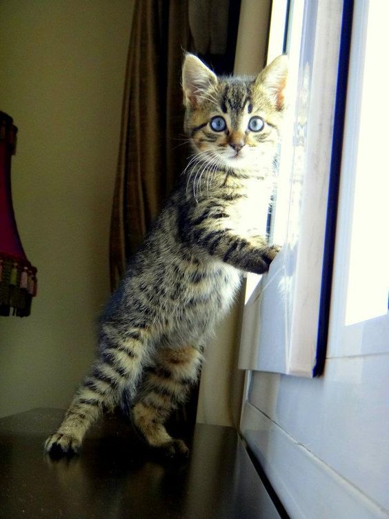 """""""Acrobat, diplomat and simple Tabby cat.  He conjures tangled forests in a furnished flat."""" --Michael Hamburger: I Want, Kitty Cats, Animals, Grey Tabby Cats, Pets, Silver Tabby Kitten, Kitties, Tabby Kittens, Cat Breeds"""