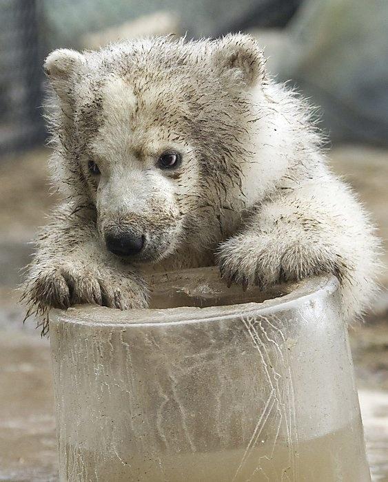 Toronto zoo polar bear: Bears Mothers, Animal Baby, Cubpolar Bears, Cubs Rejects, Zookeep Meeting, Baby Polar Bears, Bear Cubs, Polar Bears Cubs, Toronto Zoos