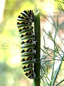 84 best Crazy Caterpillars images on Pinterest | Butterflies ...
