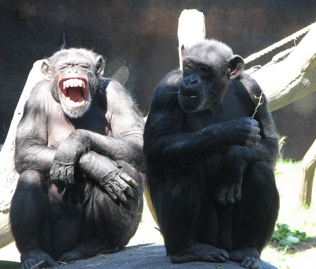 Have you ever been the only one in the room who thinks something is totally hilarious, but no one else seems to see the humor in it?  Apparently, Chimps have that same experience from time to time.    :-)      ............    (via Skye)
