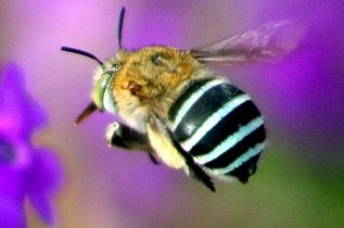 Blue-banded bees Australian native attracted to the colour blue. Also great pollinators. You can make clay houses to attract them to your garden. I spotted one in my garden today (16/11/12) Mani.