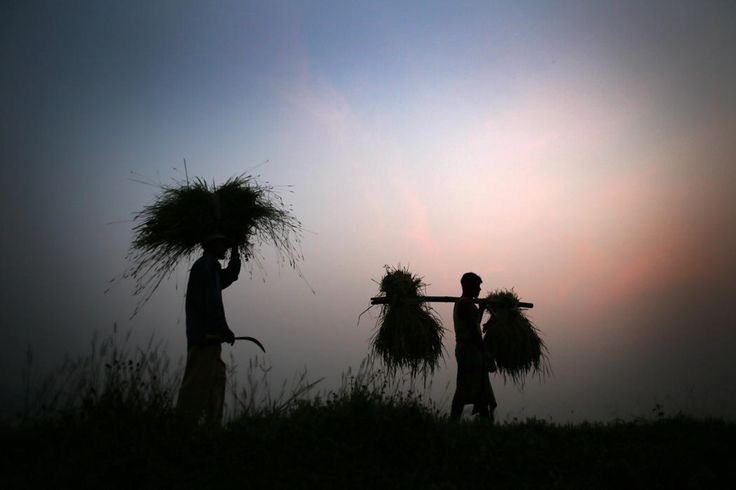 Indian farmers return home carrying bundles of paddy on the outskirts of Gauhati, India, Thursday, November 13, 2014. The United States and India said Thursday they had resolved a dispute over stockpiling of food by governments, clearing a major stumbling block to a deal to boost world trade. India is one of the world's largest grain exporters and the low cost of its production and procurement system means it can sway world prices. (AP Photo/Anupam Nath)