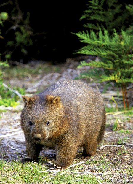 Camp with wombats at Narawntapu National Park, Tasmania
