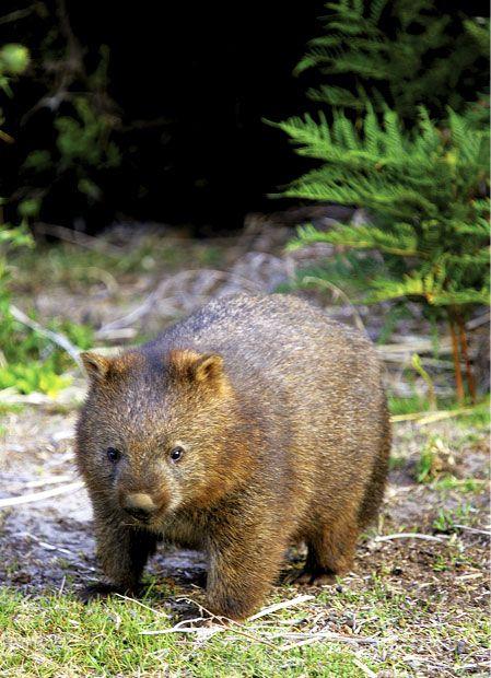 Camp with wombats at Narawntapu National Park, Tasmania