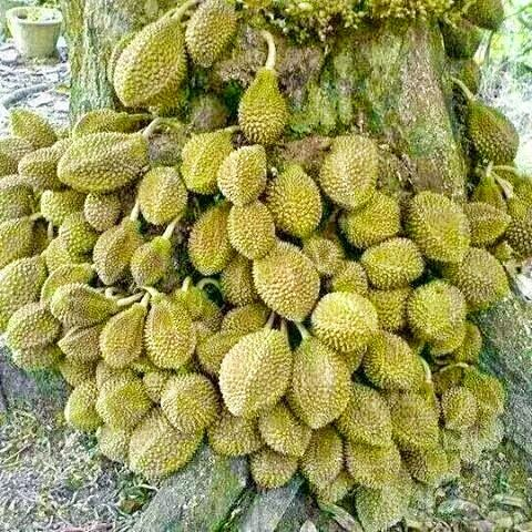 Durio testudinarum or durian kura-kura is a wild durian. In contrast from the normal durian, It is a very rare durian species and since it is not cultivated, it can only be found from the jungles of Borneo.