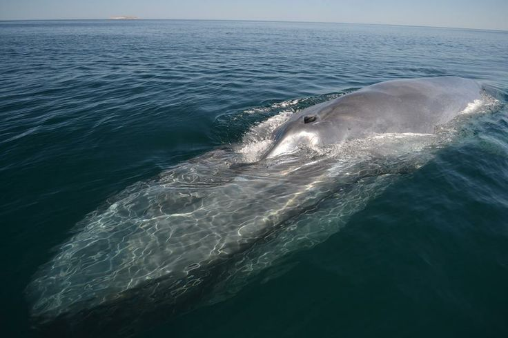 Ballena (Rorcual) Azul - Blue Whale