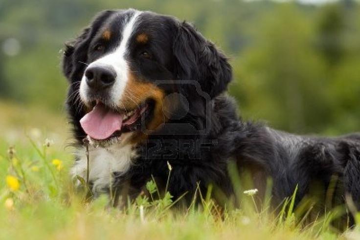 Pes - Bernský salašnický pes je na gras Reklamní fotografie