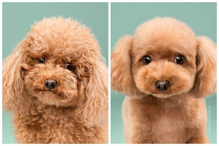 Photographer captures serious transformations after Japanese dog grooming.