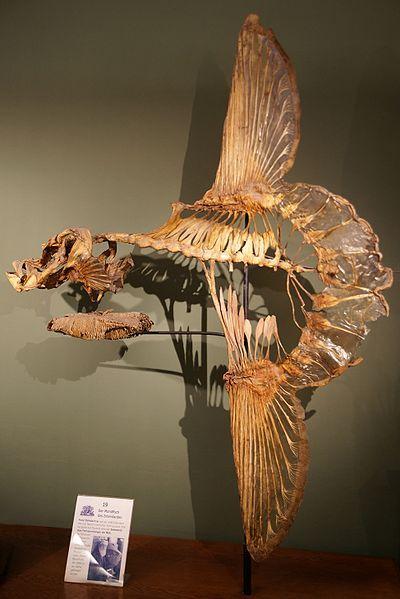 Mola Mola (マンボウ) skeleton!!