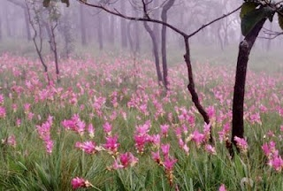 Siam Tulips.. in Siam Pa Hin Ngam National Park - Chaiyaphum province of Thailand