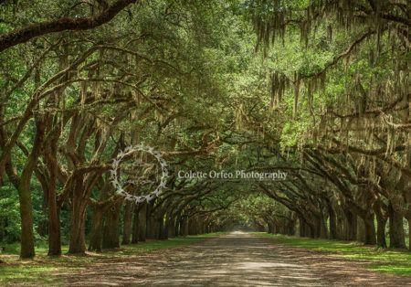 Brawny Oak Tree Photography Backdrop. Photo taken in Savannah, Georgia. To order backdrop visit www.backdropscanada.ca