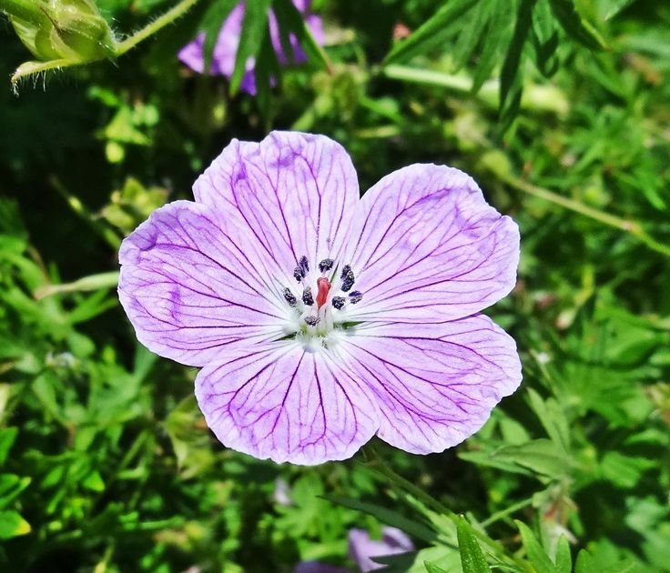 Fleur violette, Barcelone