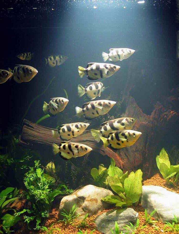17 best images about aquarium freshwater on pinterest for Brackish water fish