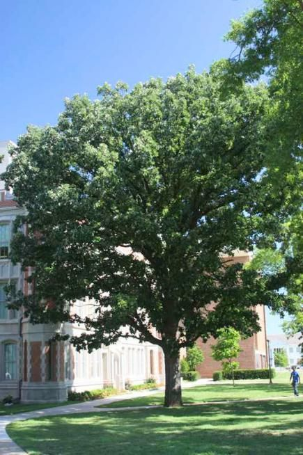 Trees for midwest lawns small ornamental trees white oak and trees