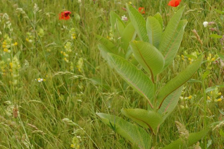 """Homoki gyepek réme, a """"vaddohány"""" - Amerikából behurcolt invazív selyemkóró a Kiskunságban. Ahol megjelenik, mindent elnyom. Háttérben pár #pipacs - #nature #photography #parasite #invasion #steppe #puszta #flora #flowers #landscape #field #természet #természetfotók #selyemkóró #vaddohány #Kiskunság #Alföld #pipacs #poppy #poppies"""