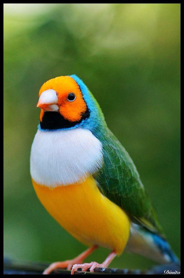 Australian Gouldian Finch...pretty thing.