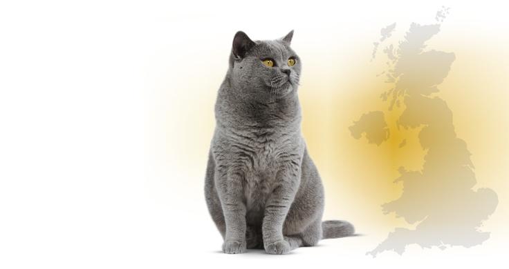 Gato inglés callejero