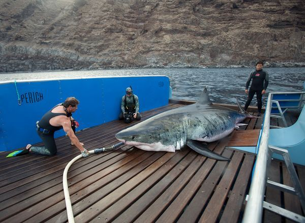 Talk about a big fish: An expedition crew hauled up—and released—the biggest great white shark yet caught, a team said in May. The 17.9-foot-long male behemoth was found off Mexico's GUADALUPE ISLAND Island in fall 2009.
