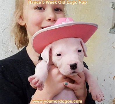 Litter of 9 Dogo Argentino puppies for sale in PINEVILLE, MO. ADN-62808 on PuppyFinder.com Gender: Female. Age: 6 Weeks Old