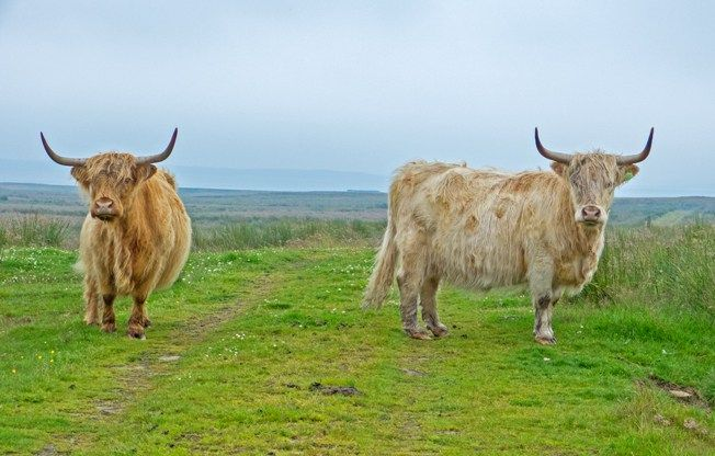 Highland cattle, on the track to Munsary Peatlands Reserve, Caithness, Scotland.