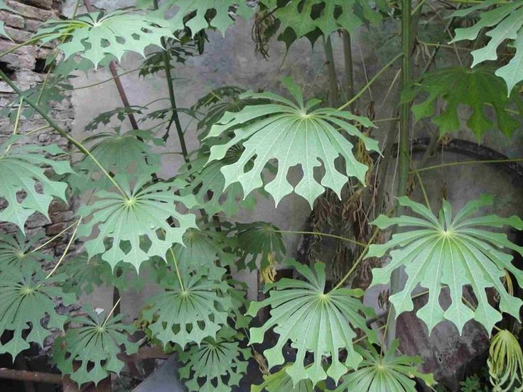 Beautiful leaves of Mahinot Grahamii - Hardy Tapioka plant