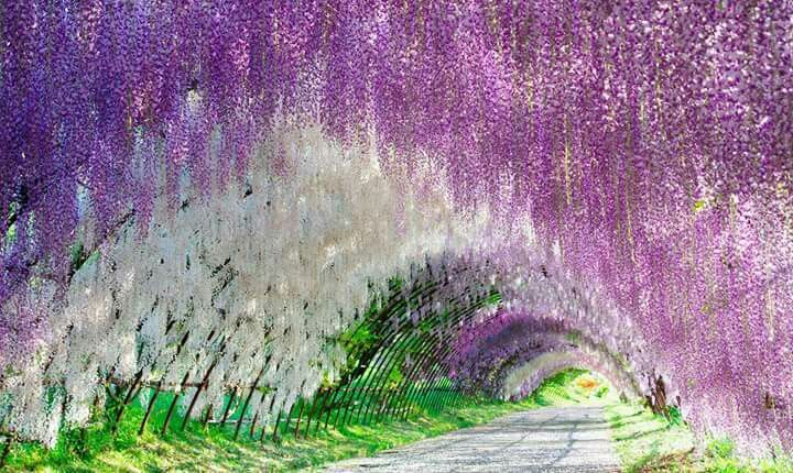 Tunel de Glicinas en Japon