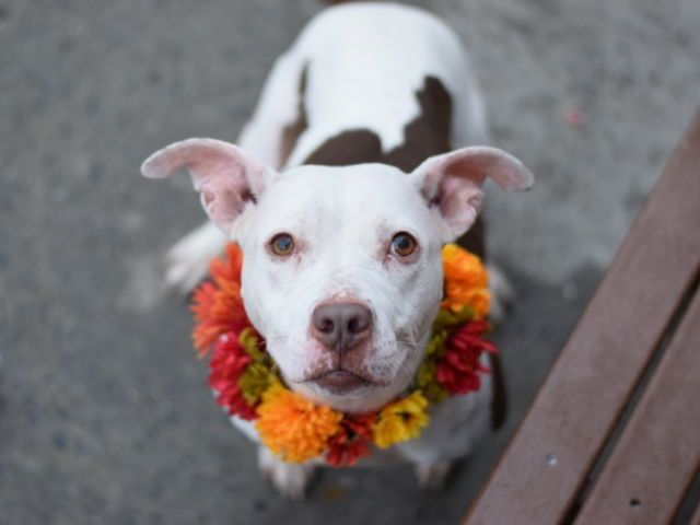 MISTY - A1096833 - - Brooklyn  Please Share:TO BE DESTROYED 11/26/16: ****PUBLIC ADOPTABLE**** -  Click for info & Current Status: http://nycdogs.urgentpodr.org/misty-a1096833/