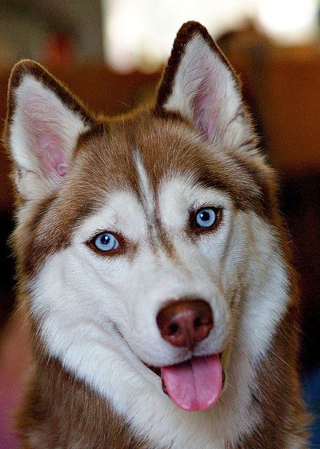 Beautiful Husky Dog-A red with blue eyes, my fondest wish!
