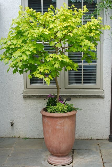 "This golden maple makes a beautiful potted tree in this tall terra cotta. Maybe a Princeton Gold Maple ""Acer platanoides"" or a Golden Full Moon Maple ""Acer shirasawanum 'Aureum'"" (small, shade)"