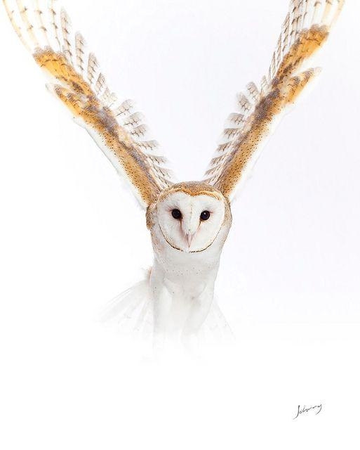Barn Owl - Amazing Image
