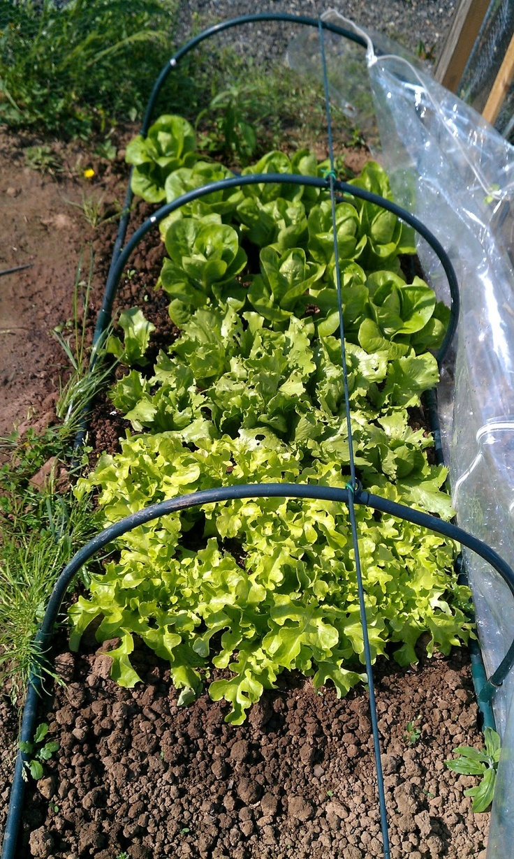 My lovely lettuces, grown in nursery beds under polytunnels.