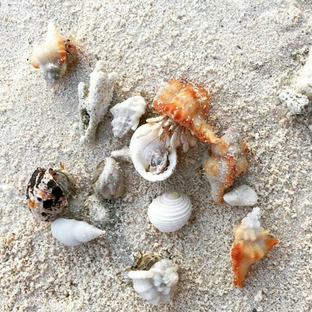 Social life of hermit crabs 🦀🦀  #Maldives #travel #thulusdhoo #indianocean #beach #islandlife #vacation #holidays